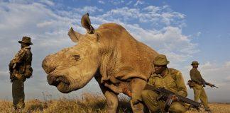 Sudan, dernier rhinocéros blanc du Nord, Kenya, gardes