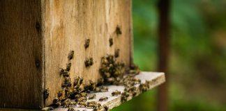 Apiculture, perte de colonies d'abeilles américaines
