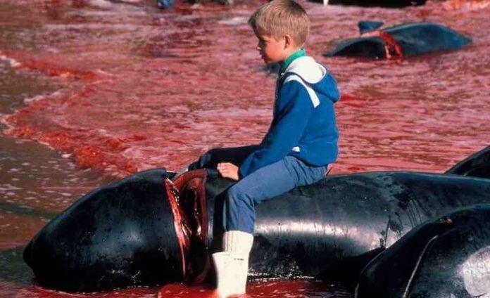 Grindadrap, dauphins massacre, îles Feroé