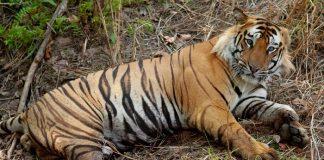 sundarbans, tigres, bangladesh, extinction