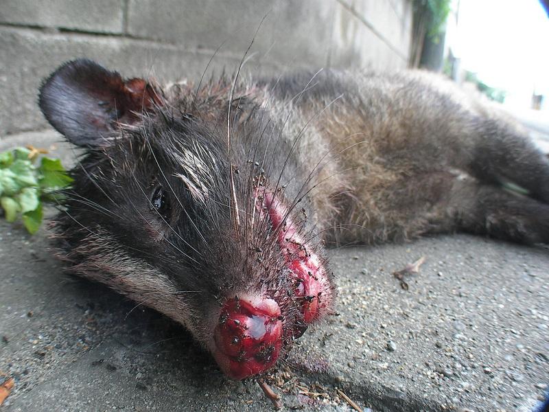 Une civette en sang, Kopi luwak