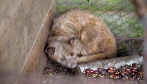 Kopi luwak, civette en cage