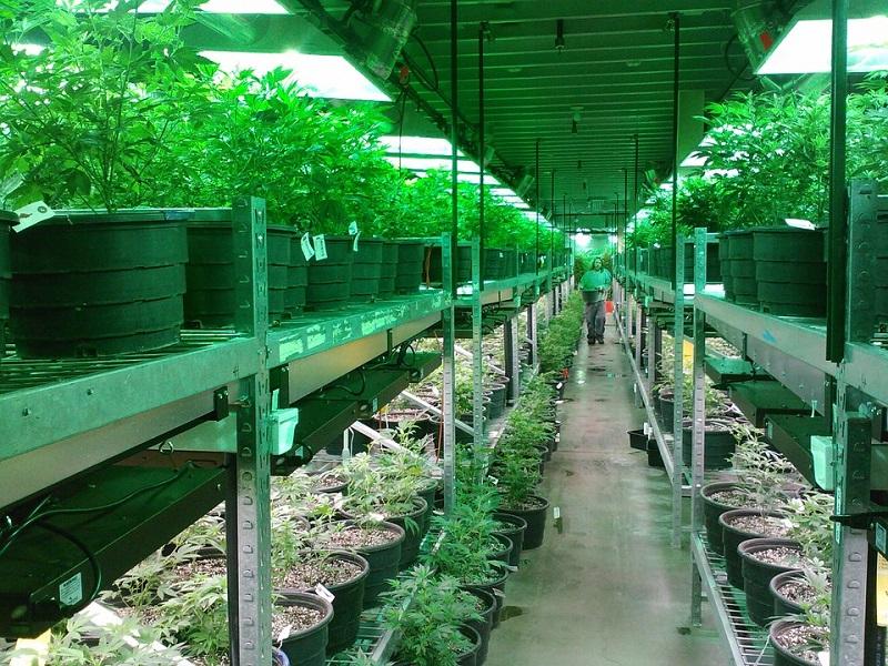 Ferme de marijuana, aux Etats-Unis