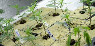 Légalisation du cannabis en Californie