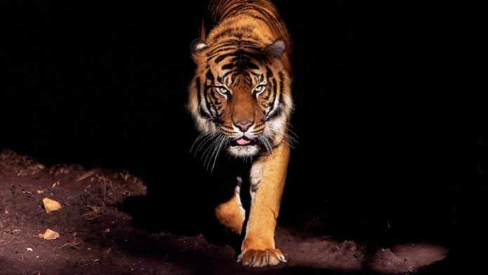 Violente attaque de tigre en Inde